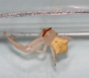 クモ類の部屋 アズチグモ 白系 片腕が全然ない。自切したのかな