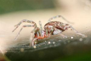 クモ類の部屋 トウキョウウズクモ