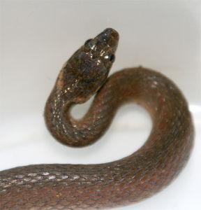 クモ類の部屋 ヒバカリ 50cmほどの蛇。無毒。 首のところに黄色い斜めの線が入っているのが特徴。