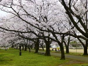 終活宣言 昨日は体操クラブの仲間と「富山県中央植物園」に行きました。 ここには約110種類、約430本のサクラ