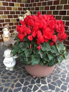 1805 - 飛島建設(株) 6日後のシクラメン 一段とでっかくなり流石四年ぶりの開花 自然に咲かすと4月に咲く花なんですね 明日
