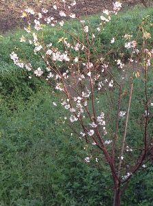 10月に咲く桜。 十月桜といいます。