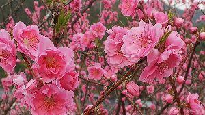えっ?! 先日職場近くの元気村に、花桃を見に行ってきました~⤴️ この処の暖かさで、花桃も綺麗に咲きました🎵😁