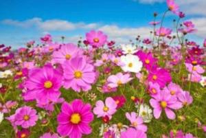 3825 - (株)リミックスポイント コスモスの花とか、見に行かないの?