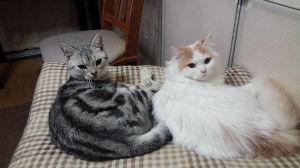 我が家の猫自慢にゃー。。 久しぶりの投稿にゃー。。  トキとラオウがシンクロしてるにゃ。。