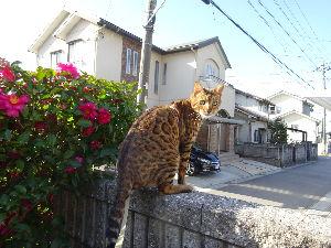 我が家の猫自慢にゃー。。 散歩の途中で塀の上に飛び乗ってます。