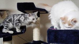 我が家の猫自慢にゃー。。 tatさん。。 気まぐれな板に投稿ありがとう。 レス遅くなり申し訳ない。。  トキがラオウにしょっち