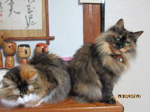 我が家の猫自慢にゃー。。 我が家の血統書付   二匹とも母猫は同じ。   庭で、動けなくなって保護。   主治医の病院に入院し