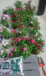 (*_*; い や し、い や さ れ、そ い、そ わ れ・・・ 8月、半分、終り  残暑、お見舞い  申し上げます一  毎年、同じです  日日、おるす番  時時、花