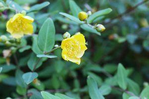 年金生活も楽しい 名は知らない、、、黄色の花。