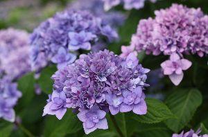 年金生活も楽しい 三景園で・・  紫陽花