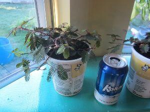 おじぎそう倶楽部 私の今年の種からのオジギソウはこんなものです。 大きさ比較のビール缶を置いています。 これから室内で
