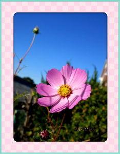 毎日サンデー・・・・・ 澄んだ青空広がり快晴・・・  陽射しがあるので暖かな日和に・・・  暇つぶしに庭の花の整理を少しずつ