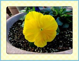 毎日サンデー・・・・・ 朝から暖かな陽射しのある小春日和に・・・  咲き終わった花の整理や片付けを・・・  黄花コスモスとコ