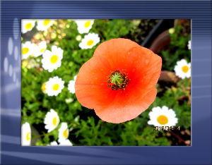 毎日サンデー・・・・・ 吹き抜ける風の爽やかな初夏の陽気に・・・  庭の花も庭中に咲き出して賑やかに・・・  春爛漫の桜も葉