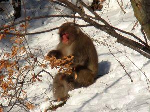 三文字言葉の【一文字替えて】遊びましょう! 野蛮→ 野猿(やえん)  先日、山際の道で【野猿】と遭遇しました