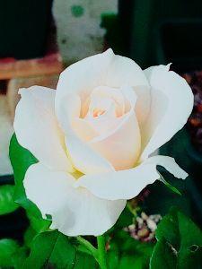 新潟弁保存会 新居で薔薇も元気らって 秋薔薇始まったれ~