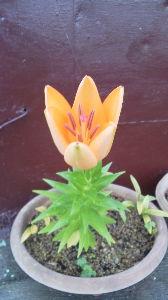 お気に入りの写真を載せよう 美愛さん ヤバイ写真じゃ有りませんよ  美愛さんは お花は 好きなんでしょうか  百合ですよ  ラン