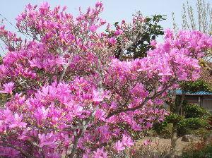 配偶者を癌で亡くした方お話しませんか?  おはようございます。   今日も、夏日ですが、明日からまた戻るそうです。     私の庭は、「花盛