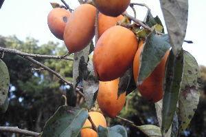 これからよ~♪ 10月というのにこの暑さ・・ 何かが狂っている。  今年は枇杷と柿が当たり年 柿写真をどうぞ