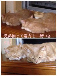 マンチカンの子猫産まれました❗️ 久しぶりに投稿してみました(*^^*)  あれから脚を痛めたコニーくんも病院で1度手術してもらったん