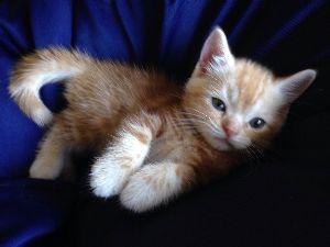 マンチカンの子猫産まれました❗️ トイレも覚えて親離れOKになりました‼︎ 6月29日産まれのマンチカンあと3匹無償でお譲り致しますの