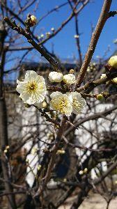 白い紙に 適当に書き込みを・・・ 咲いている梅を