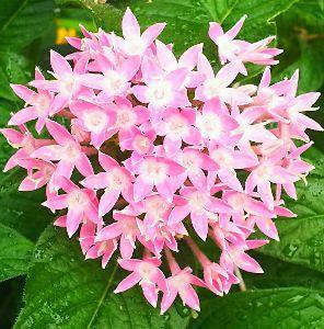★心とかす…竹島宏の歌声♪….:*:・'°☆ ★星に願いを   わが家で、この暑い季節に唯一咲いてる 花⭐️ペンタス⭐️  小さな星型の花がまとま