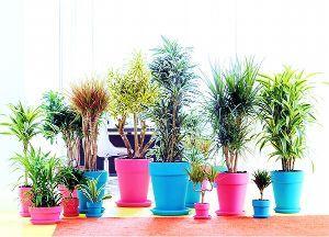 o(☆∇☆)o 今朝の一仕事は ドラセナの鉢植え、土の入れ替え。 植物愛が止まりません 菩提樹も愛情一杯に育てられ大