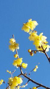 o(☆∇☆)o 青い空と金色の蝋梅、
