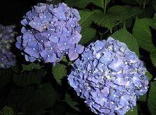 ★  五行歌  ★ 朝  昨日一日中雨 雨上がり まだ雲広がってるが 薄日射してきた 青の紫陽花映えている   おは~~