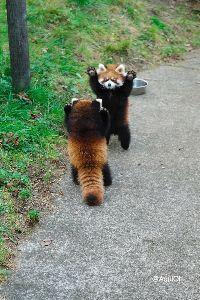 最後が「ん」になるしりとり(。A。) 大森山動物園  え  大森山動物園のレッサーパンダ 「かんた」と「ひなた」、 これでも「男と男のプラ