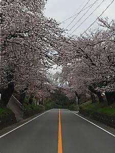 ここで・・・・ こんばんは  今日の強風、桜散らしになっちゃってるね  きゅ~ちゃん、やっぱり花見は車窓から? ki