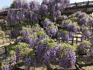 のたりのたりかな 天王川公園の藤を見に来ました。  その前に三又池公園の芝桜を楽しんで(*^^*)  藤は、満開の木も