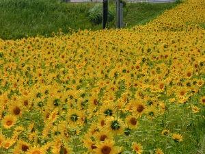 鹿児島大隅半島に お住まいで60才以上の方。   ~~曇り晴れだったから・・・・良か日和だから近場をぐるぐる160~~   最近は~~菜の花も春も