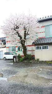気の合う50~60代でお喋りしませんか♪ みなさん、お久しぶりです。 北海道は雪ですか?  この辺は雨ですよ。  雨の中ですが、お花見しません