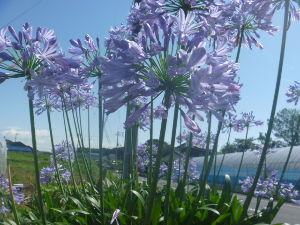 いつでも夢をパート2 番外  ただ今、忘れ物を届けたら、お得意様の畑で見かけたのが 貼り付けの花でした。  大きくなればこ