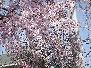 徒然なる団塊部屋 とびばこさん、御免なさい、写真を間違えました。 これが雨情桜です。