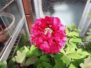徒然なる団塊部屋 おはようございます皆さん。 今日も良い天気で暑くなりそうです。畑の方も一段落、あとは夏野菜の苗を植え