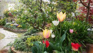徒然なる団塊部屋 みなさんこんにちは、、  シランさん、緑の桜「ギョイコウ・御衣黄」の色合いはさすが上品な見栄えですね