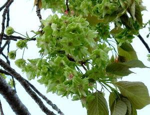 徒然なる団塊部屋  みなさん、こんにちは。 緑のサクランボは聞いた事がありませんが、緑の桜はありますね。   〇緑の桜
