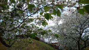 徒然なる団塊部屋 みなさんこんにちは、、  ズイキさん、しだれ桜の「しだれ雨情桜」品種があるのですね。ネット情報では以