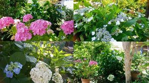 徒然なる団塊部屋 みなさんこんにちは、、  庭の紫陽花が色付きました。紫陽花はかみさんの趣味の花で、地植えの大きな株が