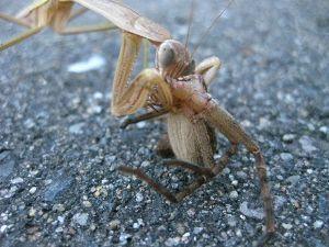 70歳代のバソコン カマキリが蜘をとらえ     食いだした。  蜘を捕らえて食ってしまうまで「デジカメ」に収めました。