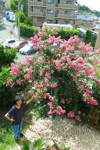 70歳代のバソコン 気温21度の快晴でまだまだ暑い水曜日の朝。あちこちの百日紅が紅い花をのぞかせています。  ははあーー