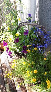 なぜ人間は、花を見て美しいと感じるのです ベランダでビオラ、まだ頑張って咲いてます(^^)