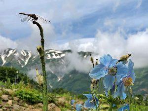 スクーターに、お乗りの方、色々お話しましょう、 おはようございます♪ 先日、白馬五竜高山植物園にヒマラヤの青いケシを見に行ってきました(笑) このふ