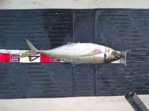 若狭湾西部の海釣り 皆さん おはようございます。 2日 PM4時から 3日 AM4時まで 行ってきました。 海が銀座状態