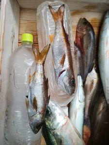 若狭湾西部の海釣り 皆さん おはようございます。  8日に舞鶴の知り合いの船で行ってきました。  日中 冠手前 ザブトン