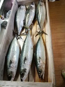 若狭湾西部の海釣り 皆さん  おはようございます。  akouさん 夜 宴会なんですね。 楽しまれてください。 先月の2